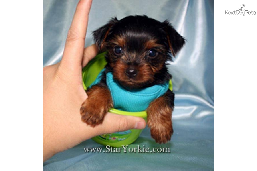 Prices For Prices For Yorkies