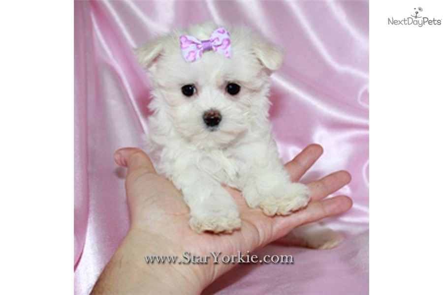 Joystickpumg Teacup Morkie Puppies For Sale In Mn