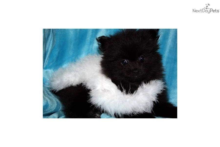 Meet Micheal Jorden a cute Pomeranian puppy for sale for ...