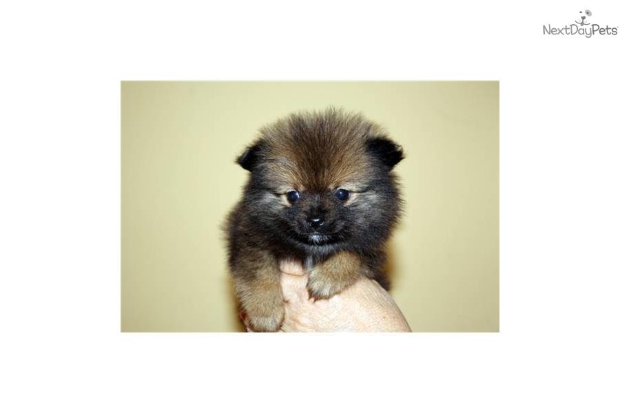Pomeranian puppy for sale near Los Angeles, California ...