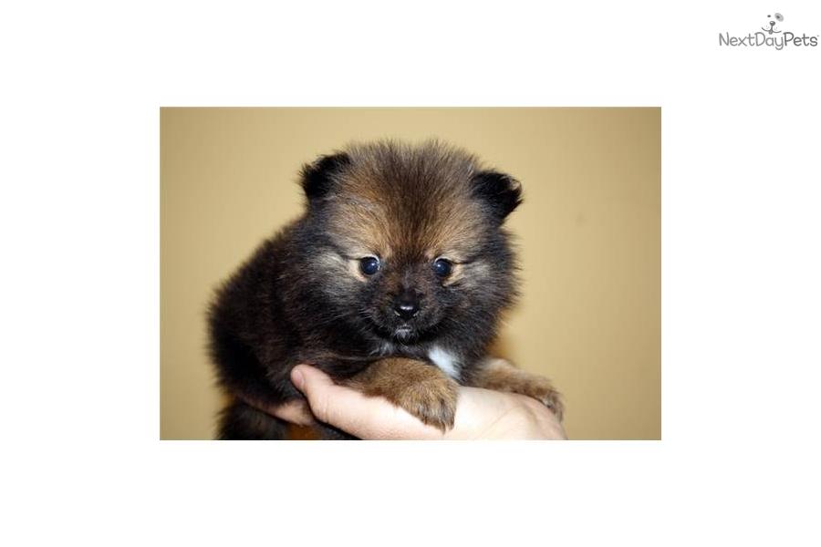 pomeranian puppy for sale near los angeles california