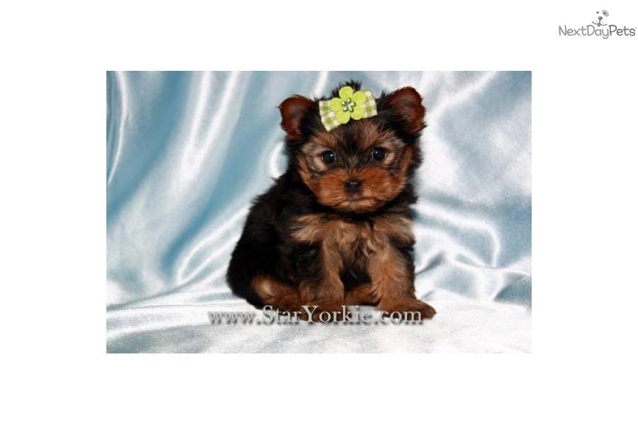 Tiny Teacup Yorkie Puppies Los Angeles | Dog Breeds Picture Miniature Schnauzer Utah