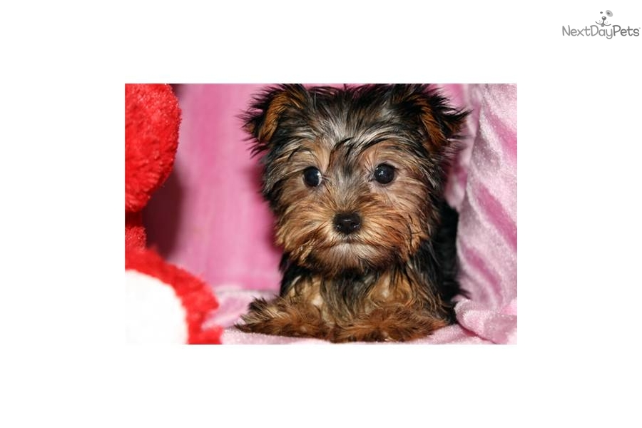 Super Tiny Micro Teacup Pocket Yorkie Yorkshire Terrier ...