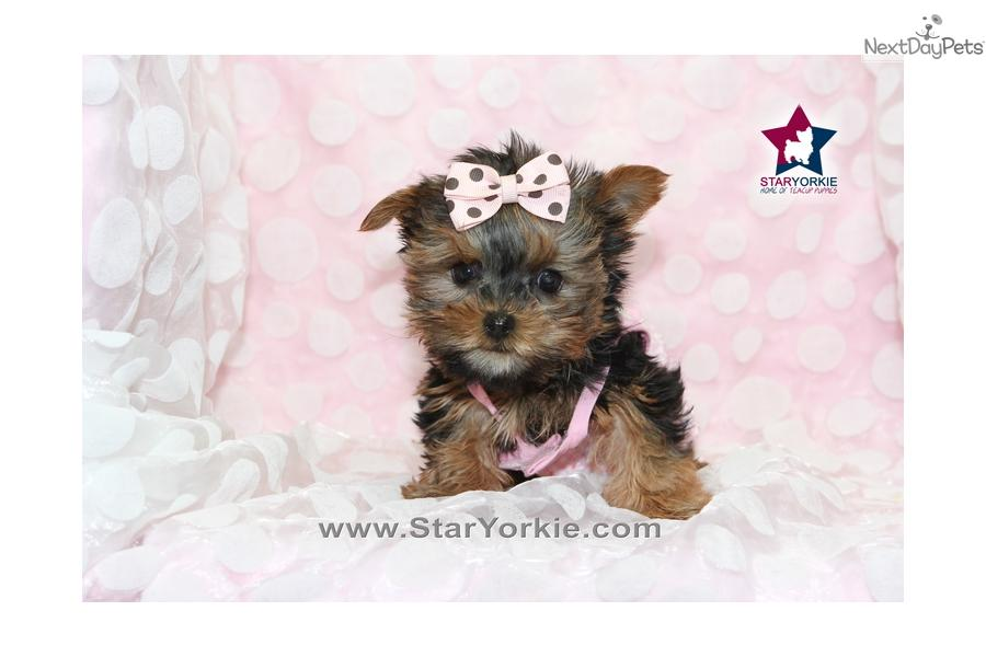 White Teacup Yorkie Puppies