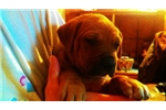 Beautiful mastiff | Puppy at 12 weeks of age for sale