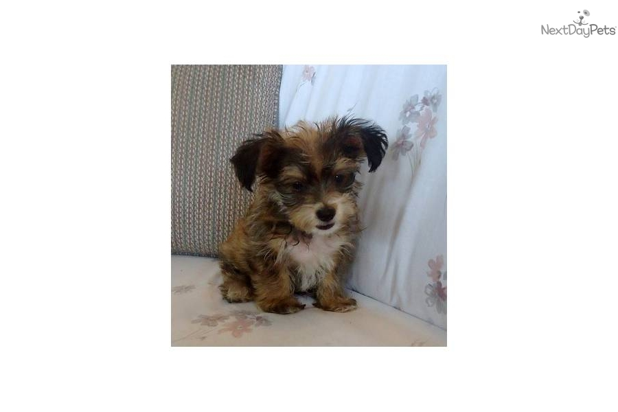 Meet Guy A Cute Morkie Yorktese Puppy For Sale For 550