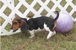 Picture of Alton - Adorable Tri Color  Bagle Hound Boy