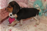 Picture of Chloe - Adorable Tri Color Beagle Girl