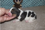 Picture of Opie - Adorable Tri Color  Beagle Boy