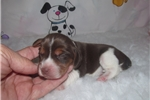 Picture of Eve - Adorable Chocolate Beagle Girl