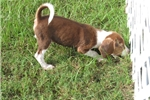 Picture of Stryker - Adorable Chocolate Beagle Boy