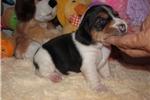 Picture of Alvin - Adorable Tri Color  Beagle Boy