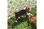 Picture of Sisco - Adorable Chocolate Beagle Boy