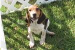 Picture of Pepper - Adorable Tri Color Beagle Boy
