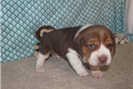Picture of Ethan - Adorable Tri Chocolate  Beagle Boy
