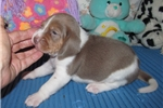 Picture of Sedric - Adorable Gray Beagle Boy