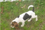 Picture of Ozzy - Adorable Tri Color  Beagle Boy