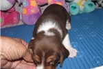 Picture of Sebastian - Adorable Chocolate Beagle Boy
