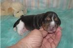 Picture of Cora - Adorable Tri Color  Beagle Girl