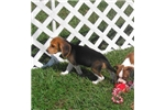 Picture of Penelope - Adorable Tri Color Beagle Girl