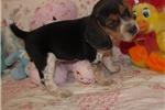Picture of Camo - Adorable Tri Color Beagle Boy