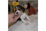 Picture of Ace - Adorable Tri Color  Beagle Boy