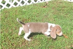 Picture of Sky - Adorable Blue Beagle Girl