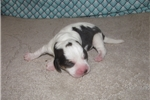 Picture of Opal - Adorable Tri Color  Beagle Girl
