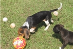 Picture of Stormy - Adorable Tri Color  Beagle Boy