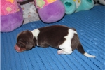 Picture of Elsa - Adorable Chocolate Beagle Girl