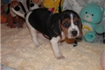 Picture of Cleo - Adorable Tri Color  Beagle Girl