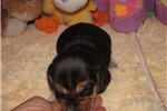 Picture of Ajax - Adorable Tri Color  Beagle Boy
