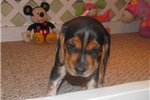 Picture of Angie - Adorable Bluetick Beagle Girl