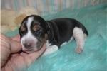 Picture of Cletus - Adorable Tri Color  Beagle Boy