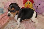 Picture of Celia - Adorable Tri Color Beagle Girl