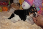 Picture of Amy - Adorable Tri Color  Beagle Girl