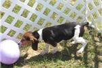Picture of Polo - Adorable Tri Color Beagle Boy