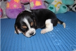 Picture of Tassy - Adorable Tri Color Beaglier Girl