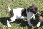 Picture of Janis - Adorable Tri Color Beaglier Girl