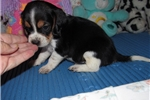 Picture of Tagg - Adorable Tri Color Beaglier Boy