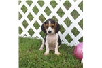 Picture of Tray - Adorable Tri Color Beaglier Boy
