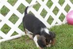 Picture of Trey - Adorable Tri Color Beaglier Boy