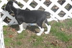 Picture of Jolene - Adorable Tri Color  Beaglier Girl