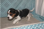 Picture of Jaylee - Adorable Tri Color  Beaglier Girl