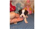 Picture of Jessa - Adorable Tri Color Beaglier Girl