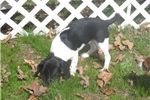 Picture of Jazz Minn - Adorable Tri Color  Beaglier Girl