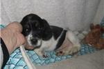 Picture of Jaxon - Adorable Tri Color  Beaglier Boy