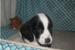 Picture of Jaden - Adorable Tri Color  Beaglier Girl