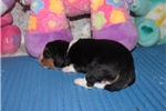 Picture of Tanner - Adorable Tri Color Beaglier Boy