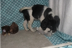 Picture of Johanna - Adorable Black and White  Beaglier Girl